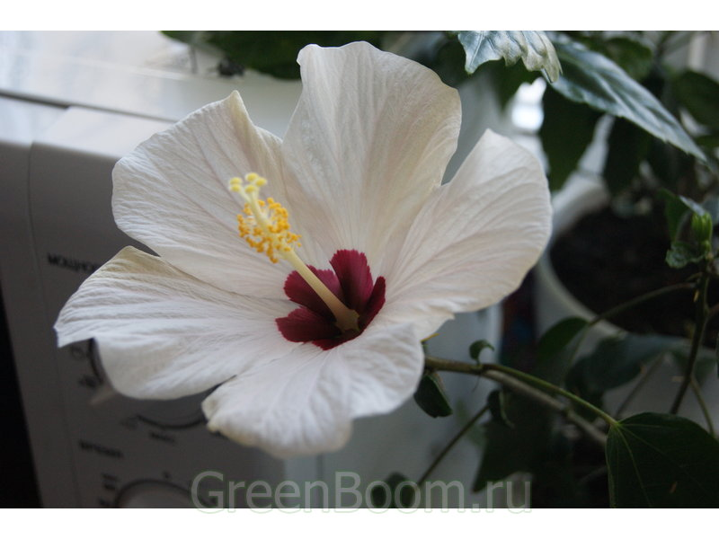 фото Hibiscus Rosa Sinensis гибискус китайский White Wings