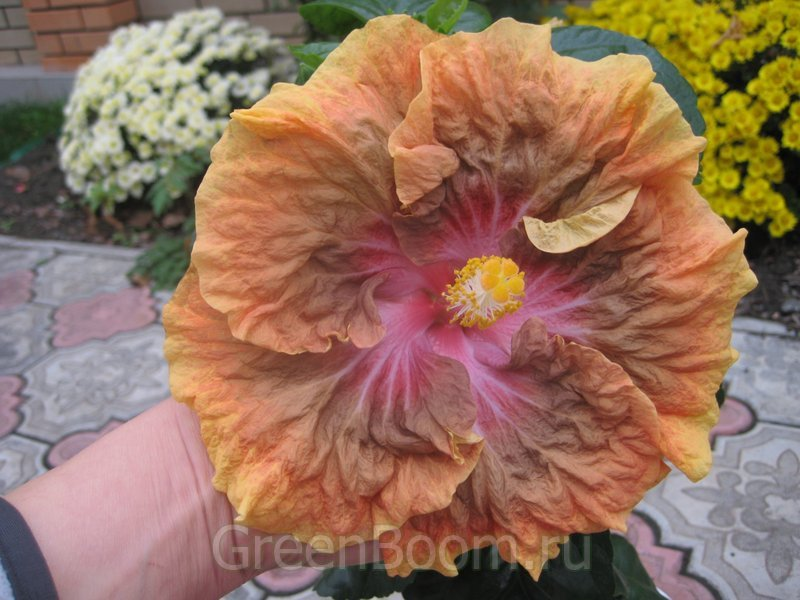 Hibiscus rosa sinensis гибискус китайский
