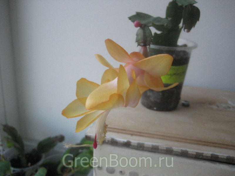 Schlumbergera hybr. (Шлюмбергера) / Гибридный