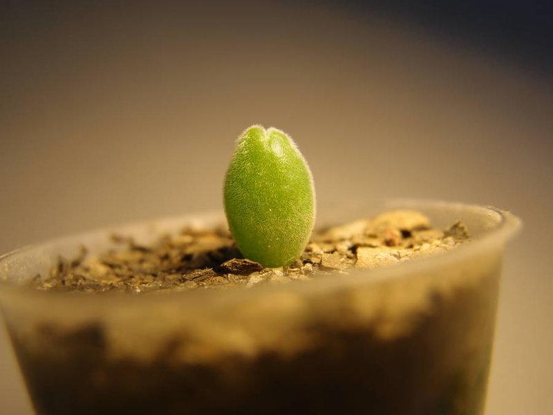 Gibbaeum = Muiria hortensea (Мюирия Гортензии) / Видовой
