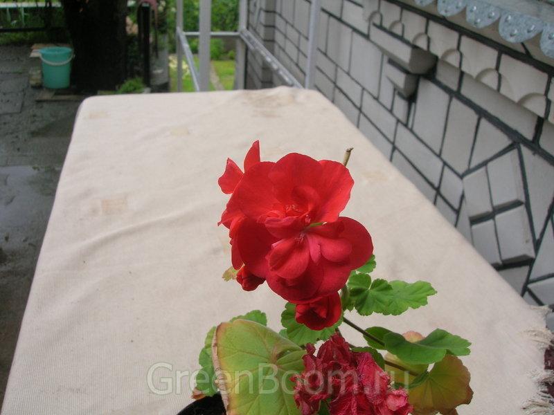 Pelargonium zonale (Пеларгония зональная) / Bold Gem