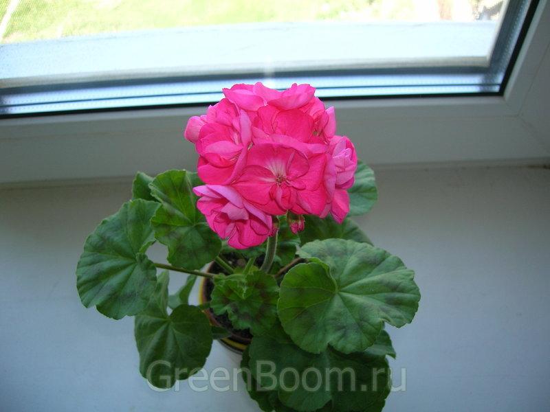 bold rose пеларгония фото