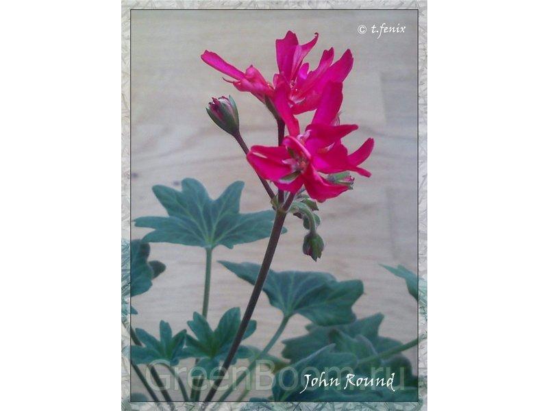 Pelargonium zonale (Пеларгония зональная) / John Round