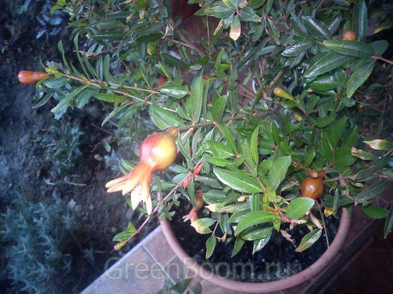 Punica hybr. (Гранат карликовый) / Карфаген
