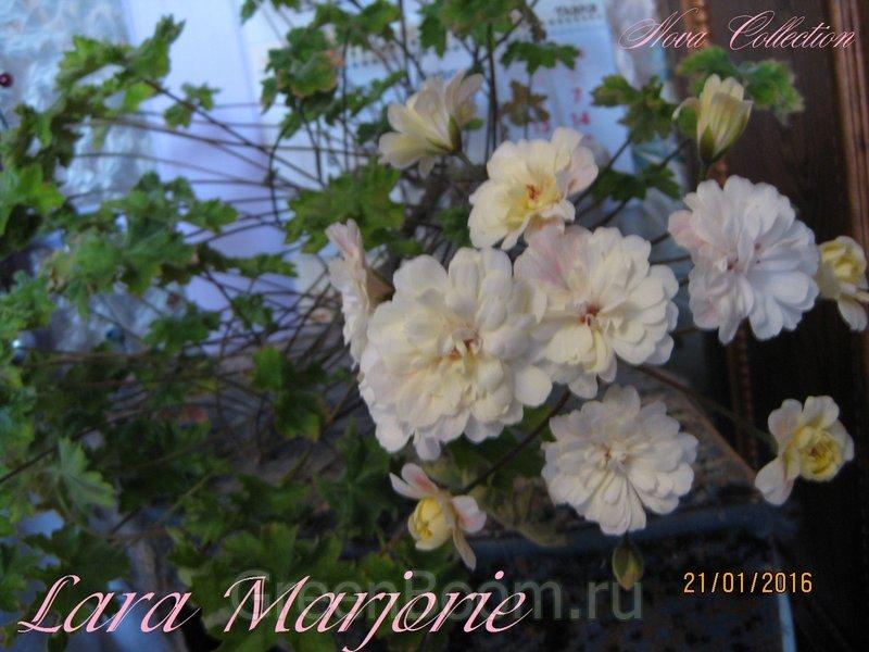 пеларгония фото lara marjorie