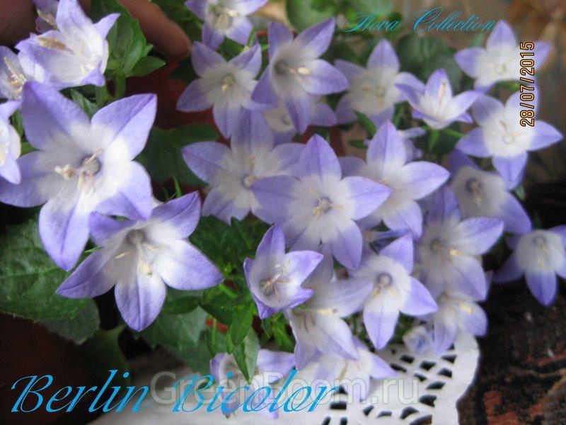 Цветок любовник