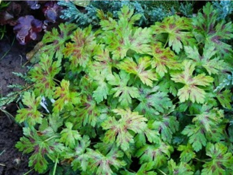 Geranium oxonianum (Герань охонианская) / Katherine Adele