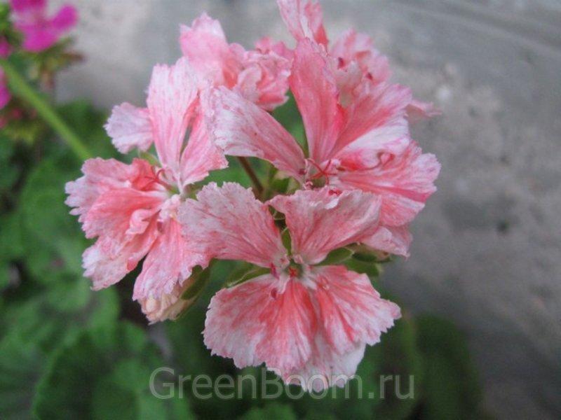 Pelargonium zonale (Пеларгония зональная) / Pukin Kili