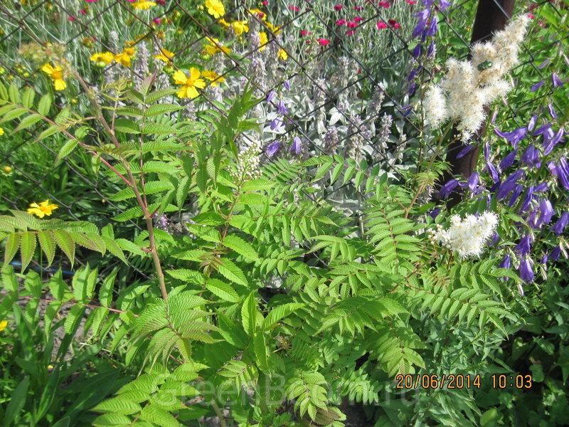 Sorbaria sorbifolia (Рябинник рябинолистный) / Безымянный