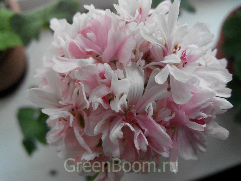пеларгония rushmoore rhapsody фото