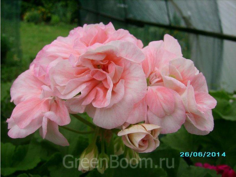 Сорт пеларгония rose