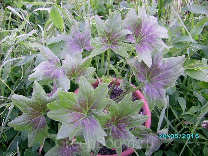 Pelargonium zonale (Пеларгония зональная) / Fallen Angel