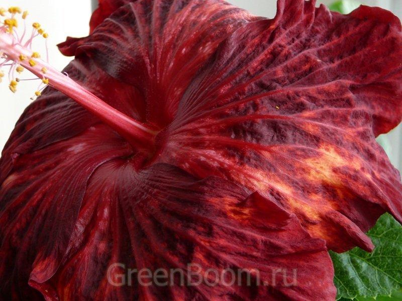 Hibiscus rosa sinensis гибискус китайский dracula