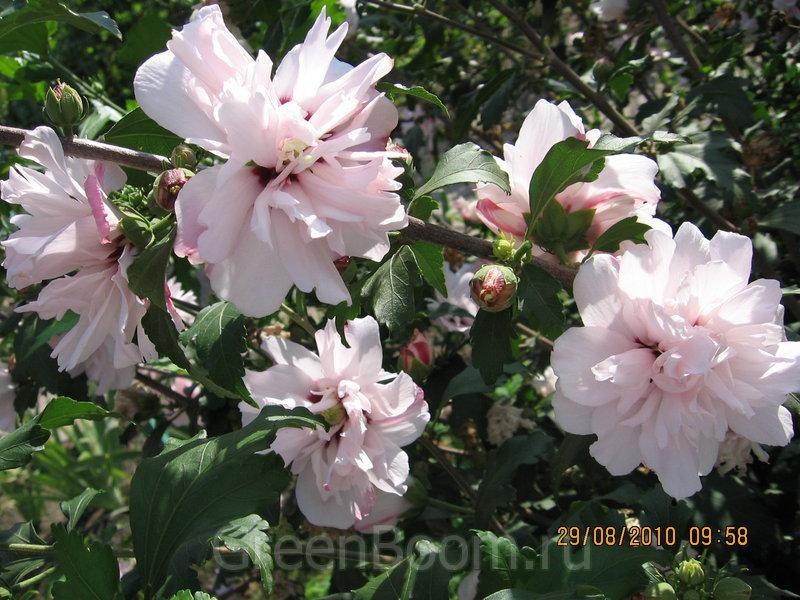 hibiscus syriacus lady. Black Bedroom Furniture Sets. Home Design Ideas