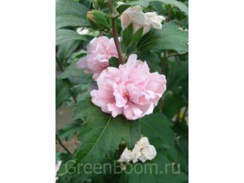 Hibiscus syriacus (Гибискус сирийский) / Безымянный_розовоцветковый
