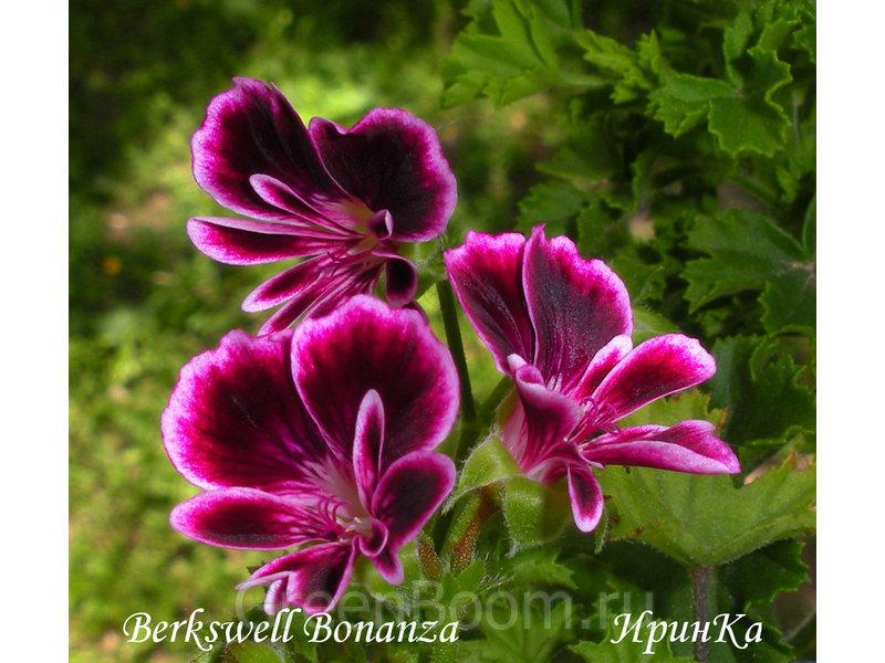 Pelargonium angeleyes (Пеларгония-ангел) / Berkswell Bonanza