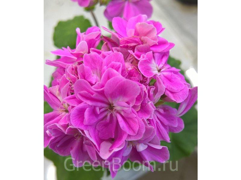 Pelargonium zonale (Пеларгония зональная) / Sanibel