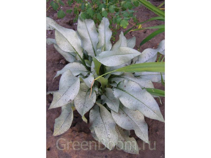 Pulmonaria saccharata (Медуницa сахарная = пятнистая) / Silverado
