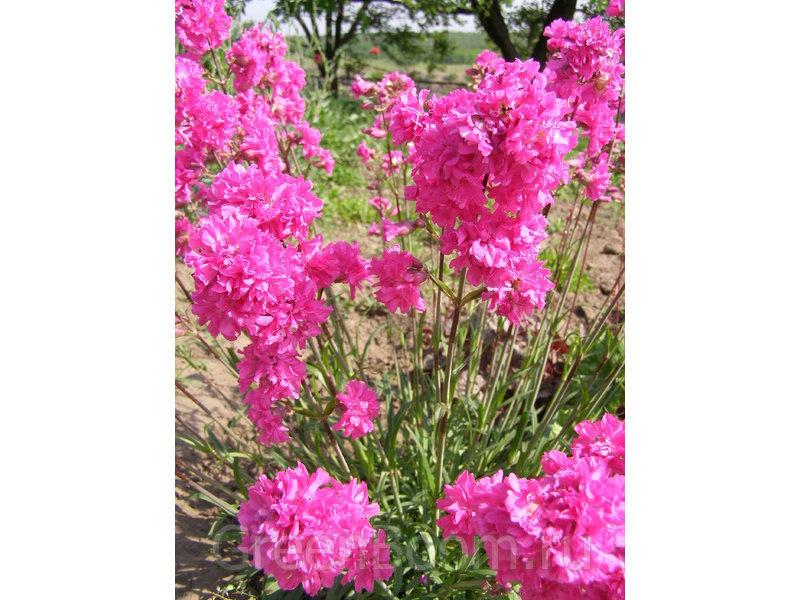 Lychnis viscaria = Viscaria vulgaris = Silene viscaria (Смолка обыкновенная) / var. flore pleno