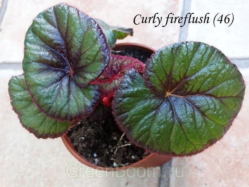 Begonia hybr. (Бегония) / Fireflush