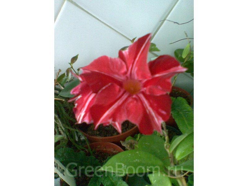 Куплюкомнатное растение китайская
