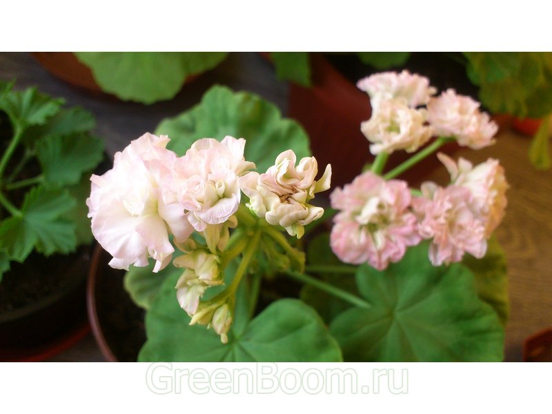 Pelargonium zonale (Пеларгония зональная) / Odensjö Poetry in Motion