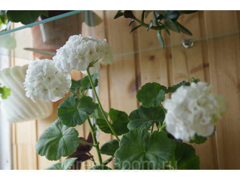Pelargonium zonale (Пеларгония зональная) / Безымянная_махровая белая
