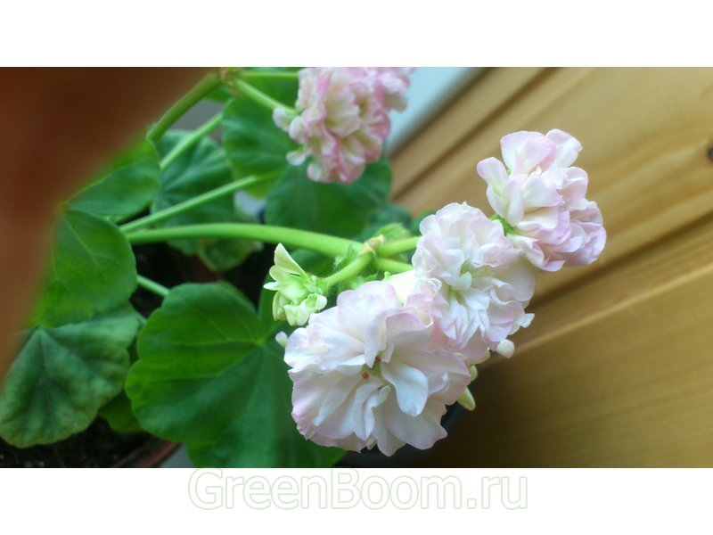 Pelargonium zonale (Пеларгония зональная) / Odensjö Poetry in Motion