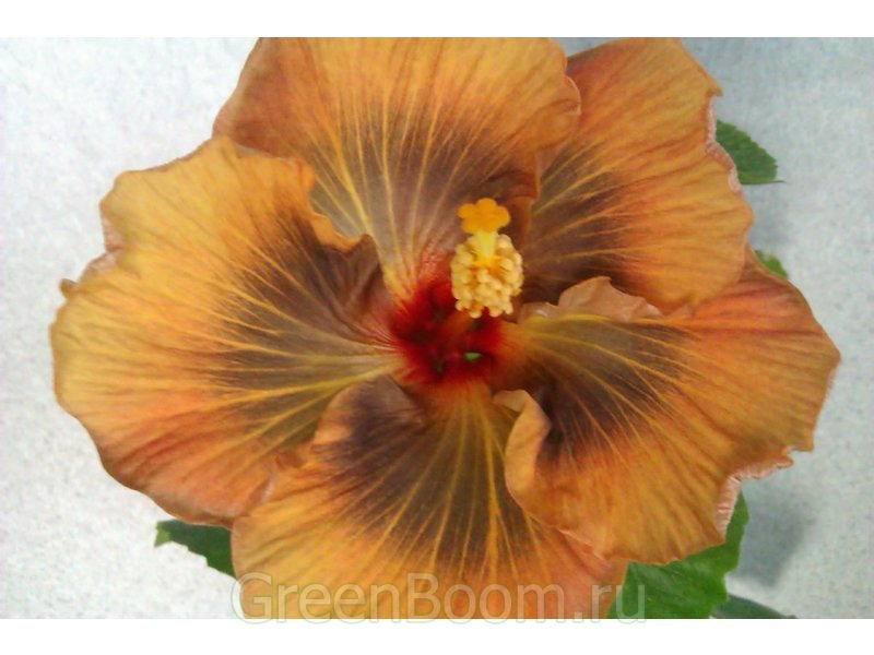 Hibiscus rosa-sinensis (гибискус китайский) / Masked Bandit