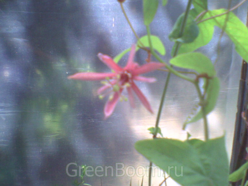 Passiflora / Ласточкин хвост