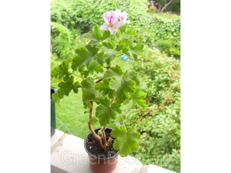 Классификация пеларгоний: сорта, виды, группы Цветок в доме