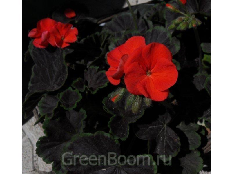 чёрный бархат пеларгония фото
