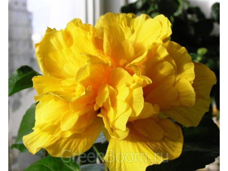 гибискус желтый не наращивает корни Нью-Джерси ночному