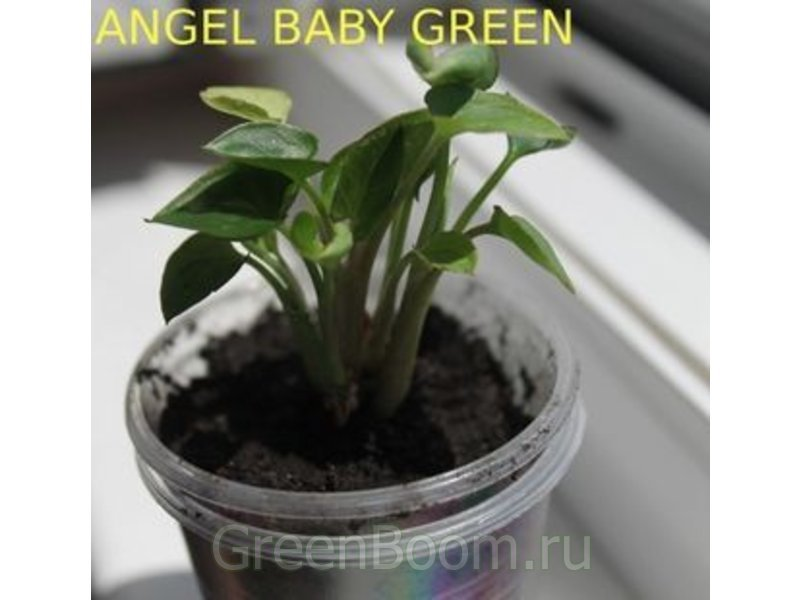 syngonium sp angel baby green mutation. Black Bedroom Furniture Sets. Home Design Ideas