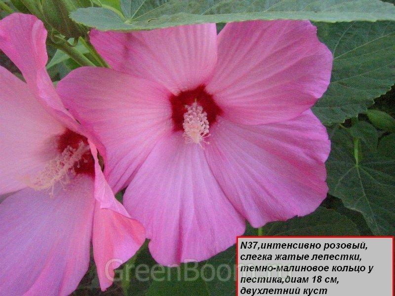 Hibiscus hybrida (Гибискус гибридный травянистый) / Не определен