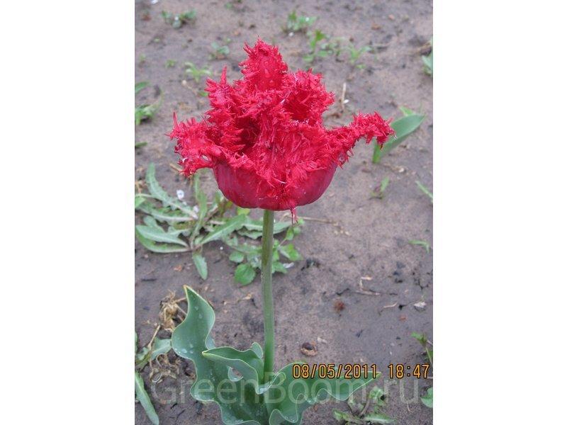 Tulipa Fringed Group (Тюльпан бахромчатый) / Valery Gergiev