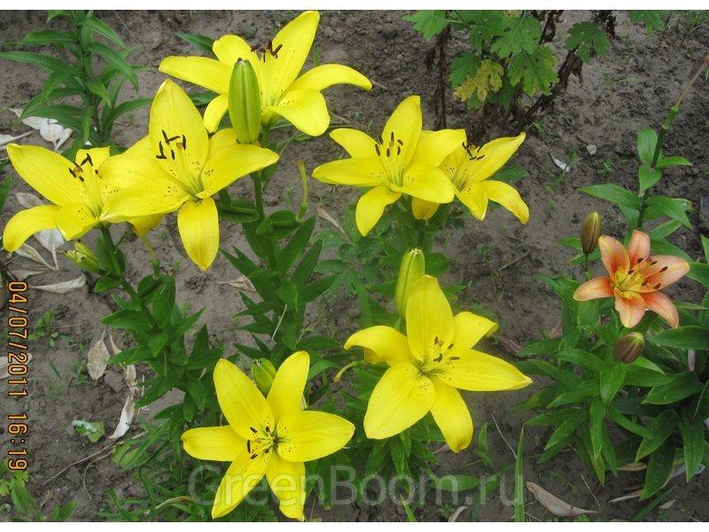 Желтая лилия с крапом