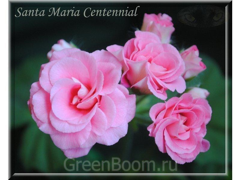 пеларгония santa maria centennial