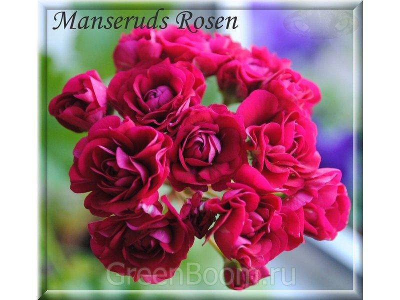 пеларгония monseruds rosen