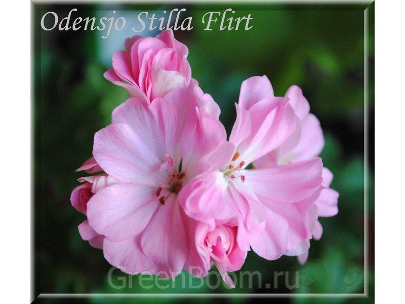 flirt пеларгония