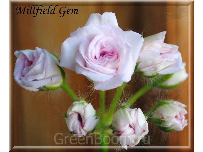millfield gem пеларгония фото