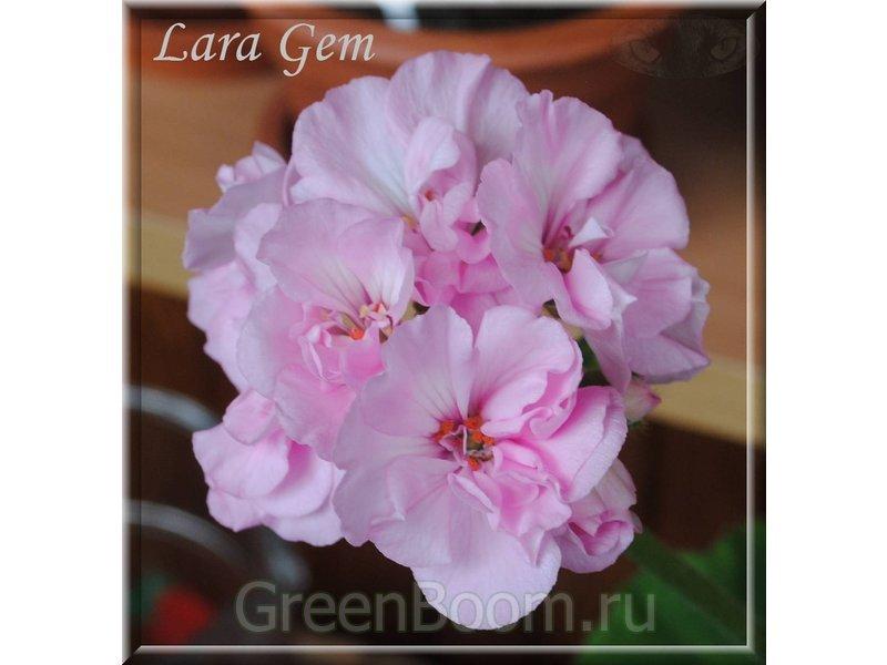 Герань Pelargonium