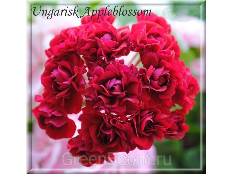 ungarisk appleblossom пеларгония