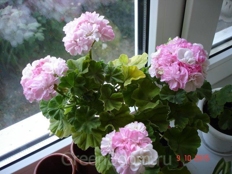 Pelargonium zonale (Пеларгония зональная) / Dowepoint
