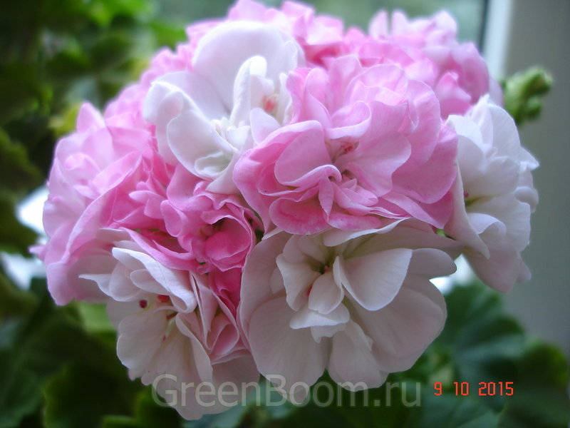 Pelargonium zonale (Пеларгония зональная) / Dowepoint=Dovepoint
