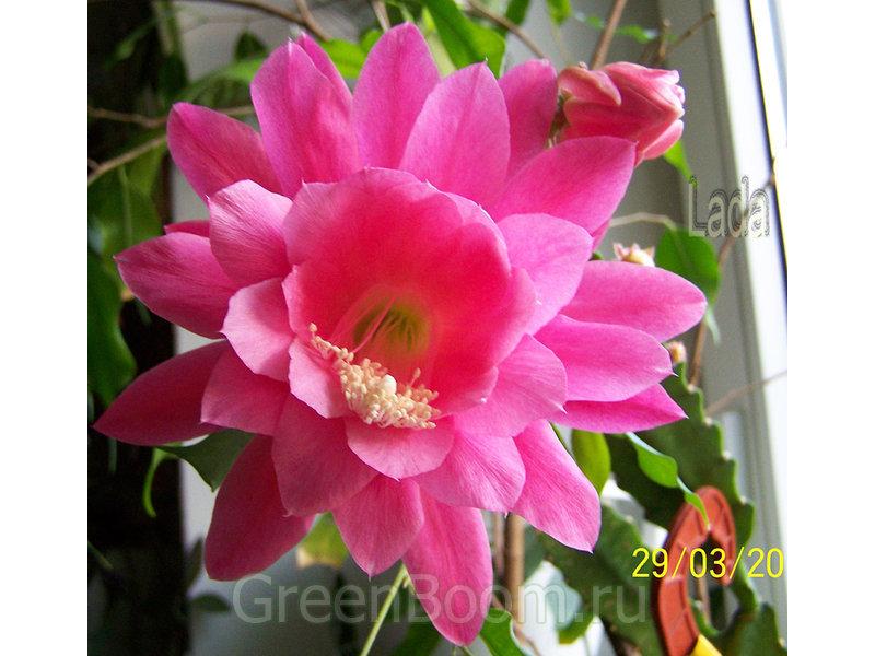 Epiphyllum hybr. (Эпифиллум) / Гибридный_розовый