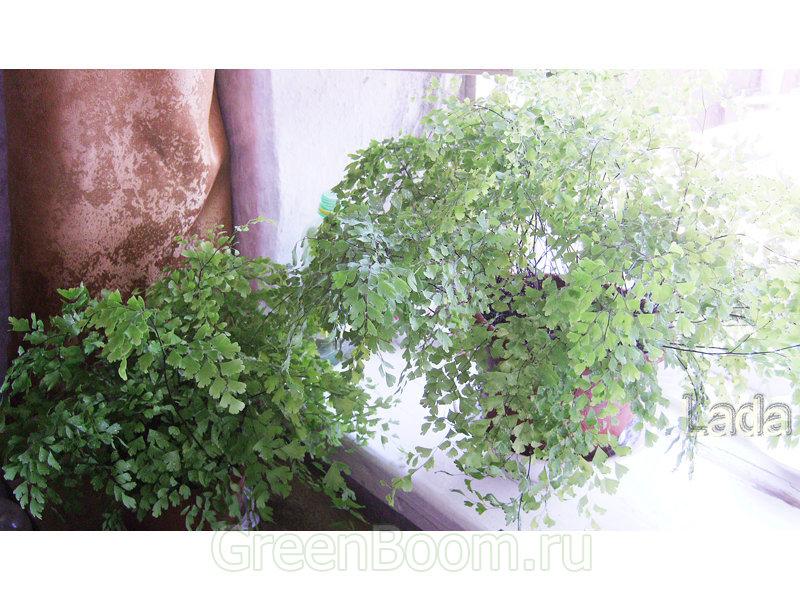 Adiantum capillus-veneris (Адиантум венерин волос) / Безымянный