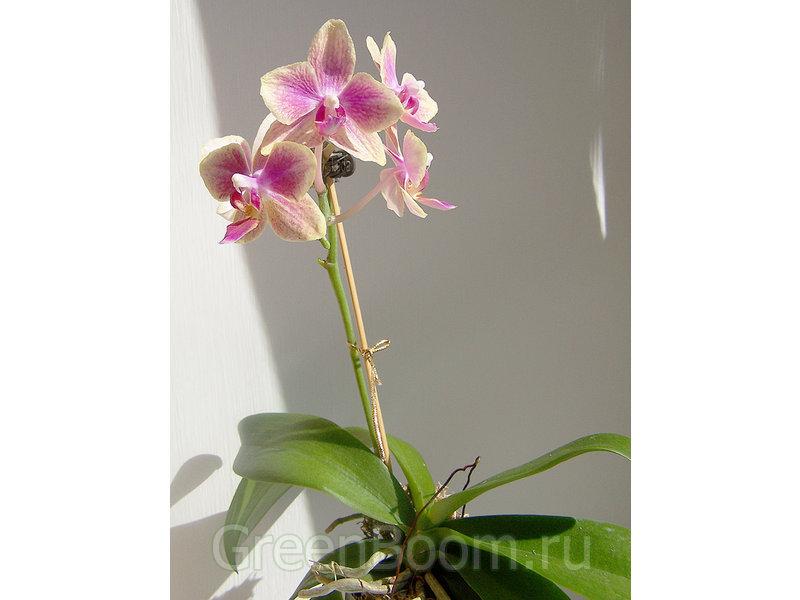 Phalaenopsis (Phal.) / _hybrid mini