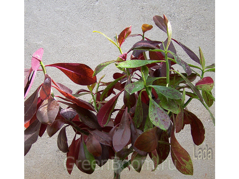 Цветок синадениум