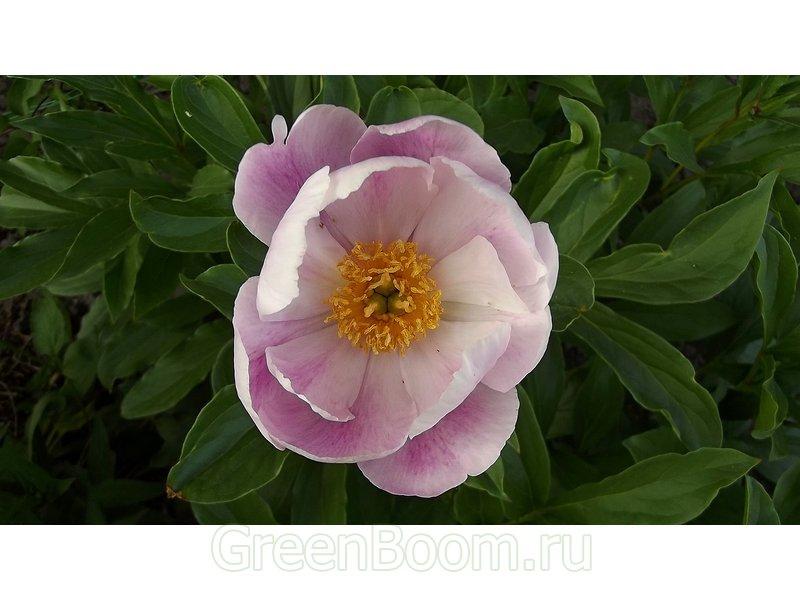 Paeonia hybr. (Пион гибридный японский) / Безымянный_розовый